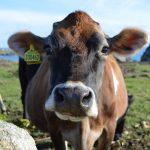 Gem - a Jersey cow.